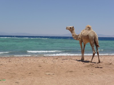 Camel enjoying the empty northern beach
