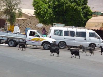 Wild goat gang